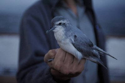 Photo: Holding and releasing a thin-billed prion (Pachyptila belcheri), a type of petrel, a seabird, near Ushaia on the Argentinian mainland.