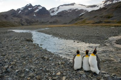 Three king penguins (Aptenodytes patagonicus) on South Georgia Island.