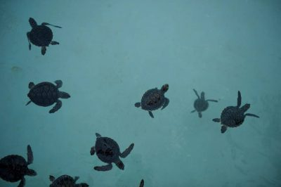 Baby green sea turtles (Chelonia mydas) swim about at the the Xcaret eco park in Cancun, Mexico. (IUCN: Endangered; US: Endangered)