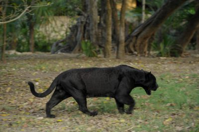 Picture of a federally endangered, black jaguar (Panthera onca) roaming in an open-air enclosure at the Xcaret resort in Cancun, Mexico.