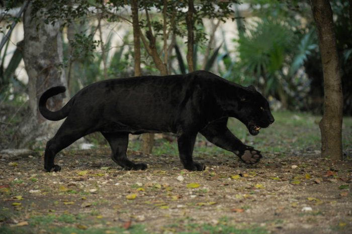Picture of a federally endangered black jaguar (Panthera onca) roaming in an open-air enclosure at the Xcaret resort in Cancun, Mexico.