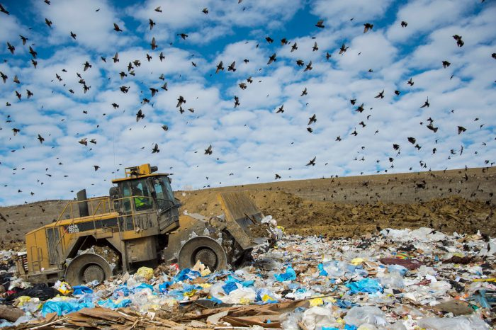 Photo: Common starlings pick for food in the garbage in the landfill in Lincoln, Nebraska.