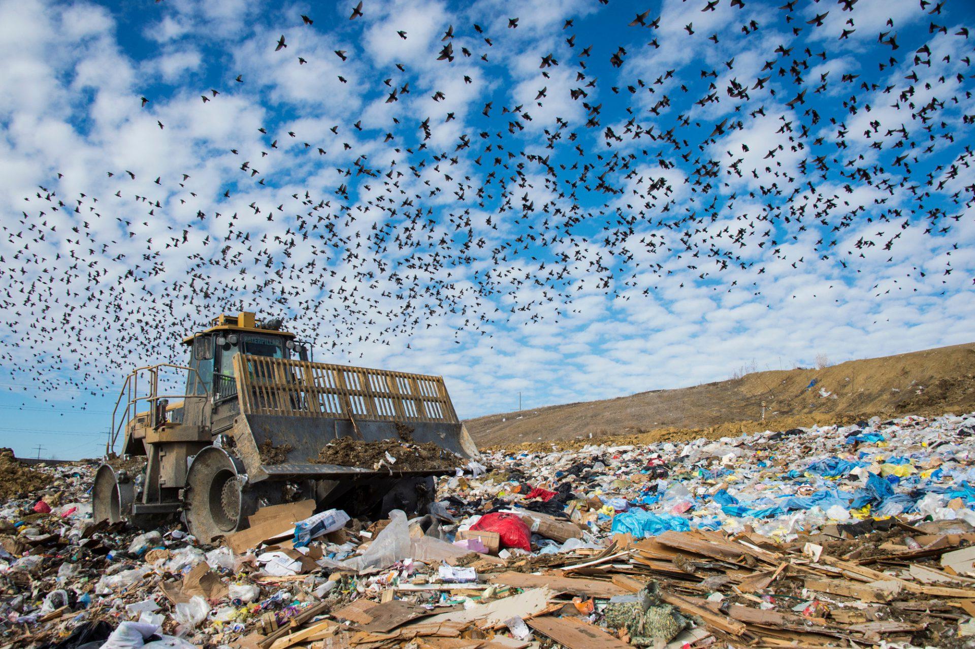 Photo: Common starlings pick for food in the garbage in the landfill in Lincoln, Nebraska.