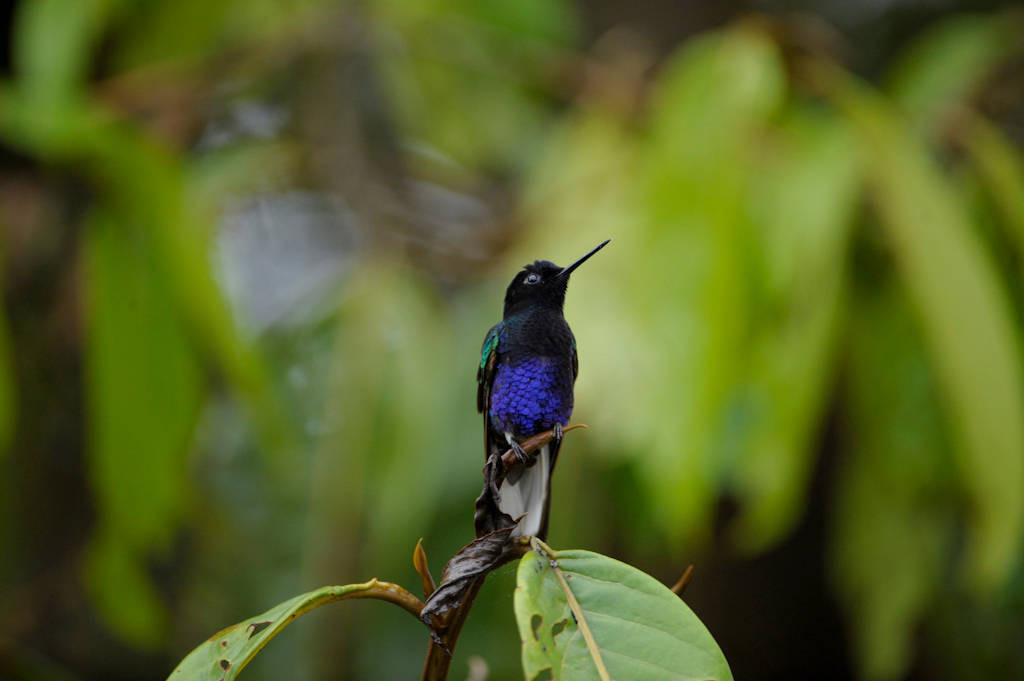 Photo: A velvet-purple coronet hummingbird (Boissonneaua jardini) in a cloud forest reserve near Mindo, Ecuador.