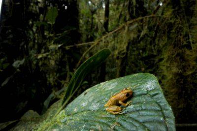 A rain frog (Pristimatis calcarulatus) (IUCN: Vulnerable) in a cloud forest reserve near Mindo, Ecuador.