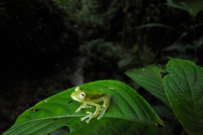 A giant glass frog (Centrolene grandisonae) in the cloud forest reserve near Mindo, Ecuador.