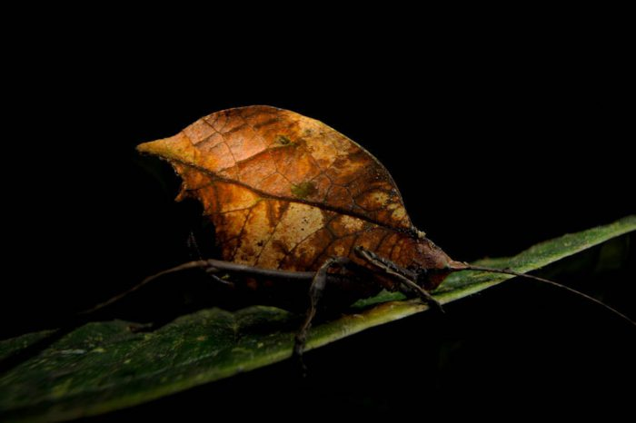 A leaf katydid (Cycloptera sp.) in a cloud forest reserve near Mindo, Ecuador.
