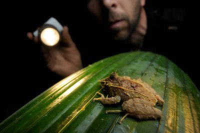 A biologist looks at a long-snouted cutin frog (Pristimantis appendiculatus) in the cloud forest reserve near Mindo, Ecuador.