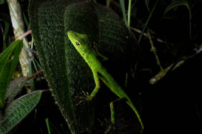 Photo: An anole (Polychrotidae) in the cloud forest reserve near Mindo, Ecuador.