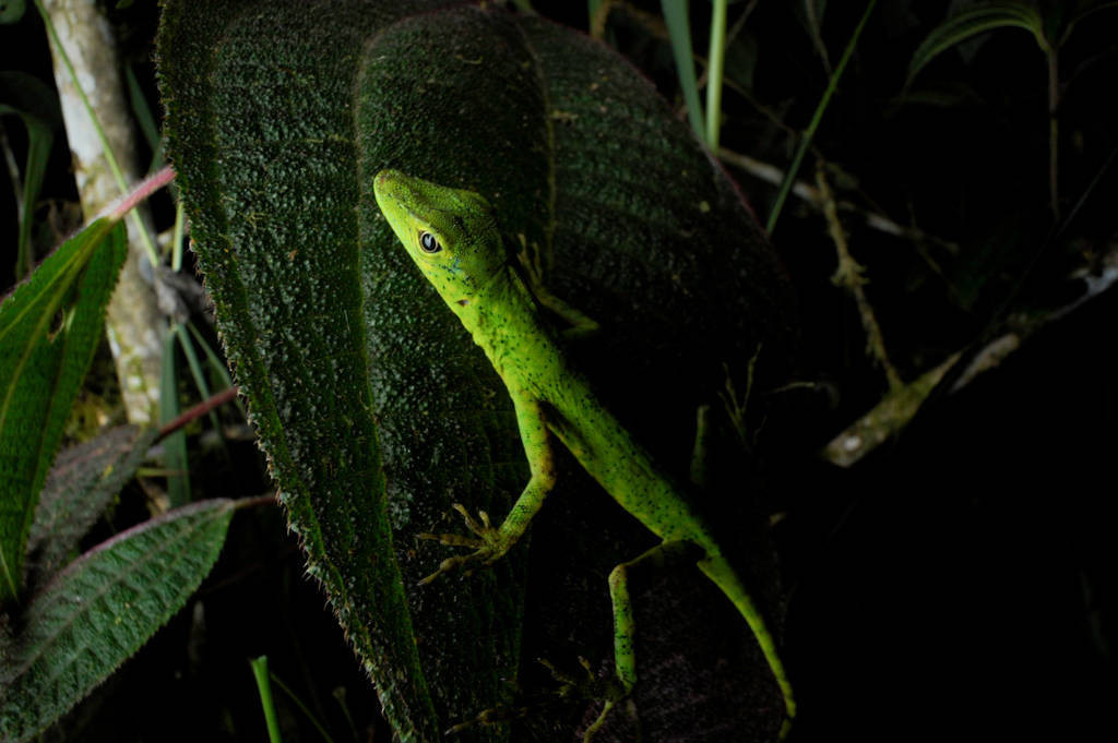 Photo: An anole (Polychrotidae) in the cloud forest reserve near Mindo, Ecuador.