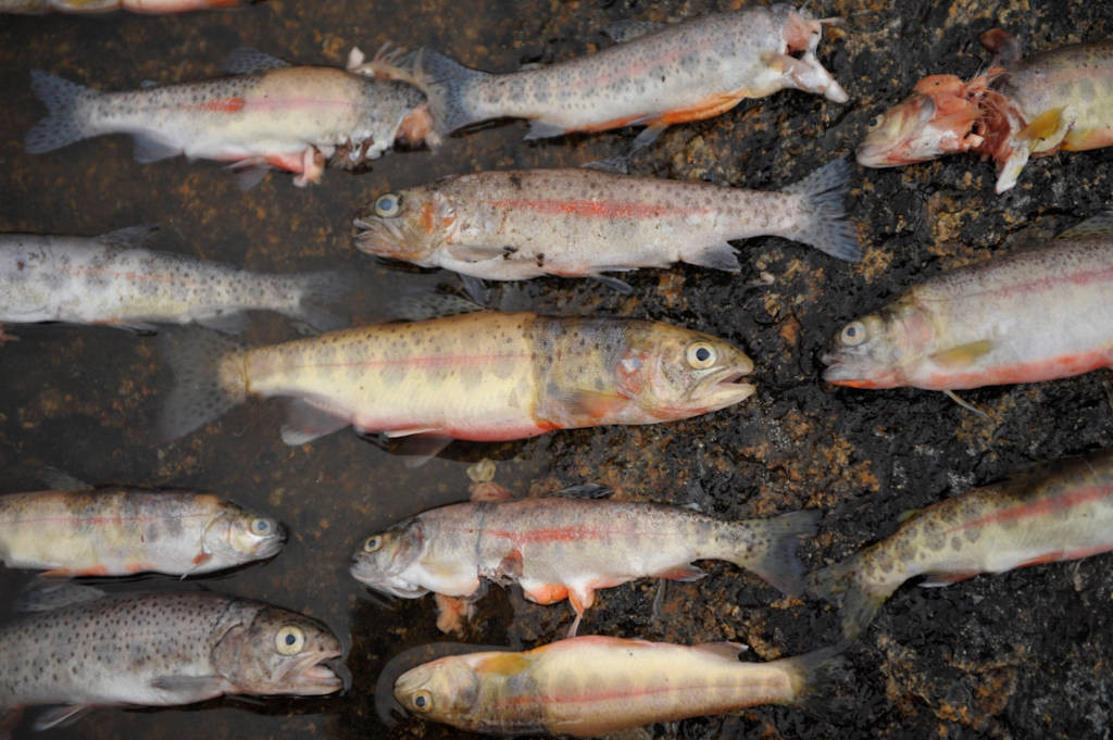 Photo: Recently killed introduced trout in the Sixty Lake Basin of King's Canyon National Park, Nevada.