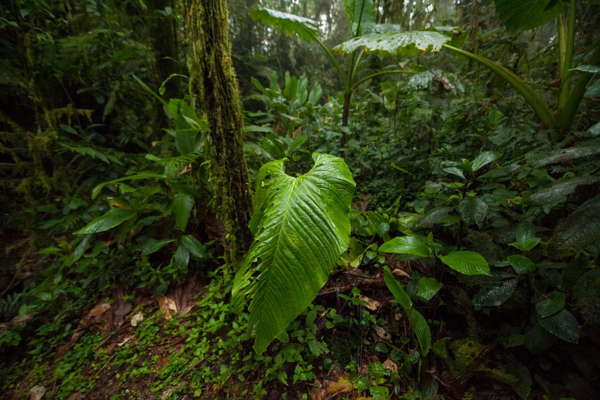 Photo: Vegetation in the cloud forest reserve near Mindo, Ecuador.