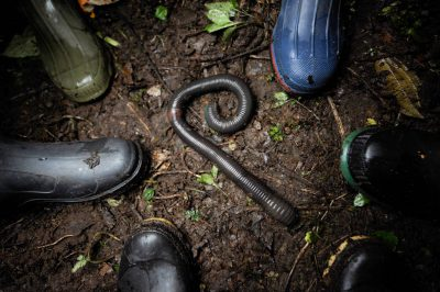 Photo: A giant earthworm at Reserva Las Gralarias near Mindo, Ecuador.