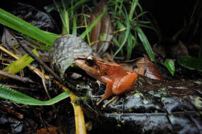 A rain or robber frog (Eleutherodactylus achatinus) in the cloud forest reserve of Reserva Las Gralarias, near Mindo, Ecuador.
