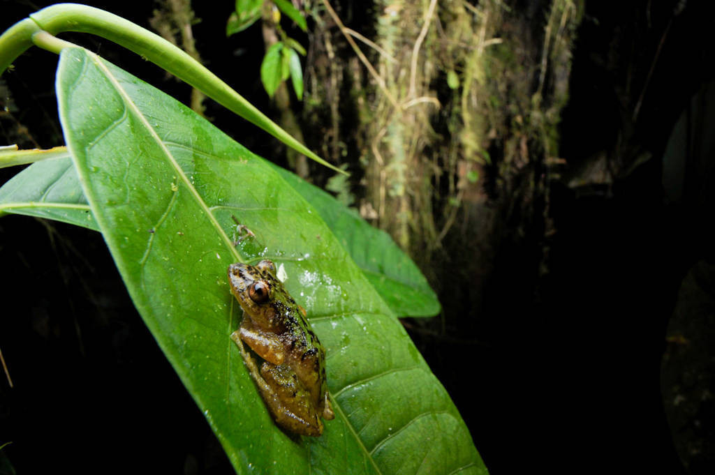 Photo: A frog in the cloud forest reserve of Reserva Las Gralarias, near Mindo, Ecuador.