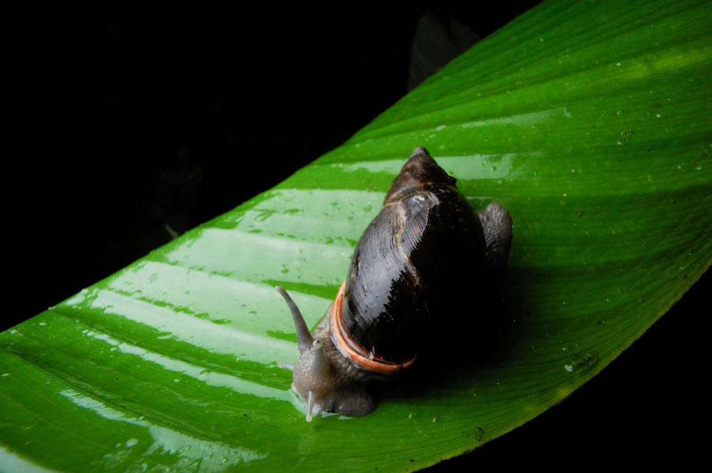 Photo: A snail in the cloud forest reserve of Reserva Las Gralarias, near Mindo, Ecuador.
