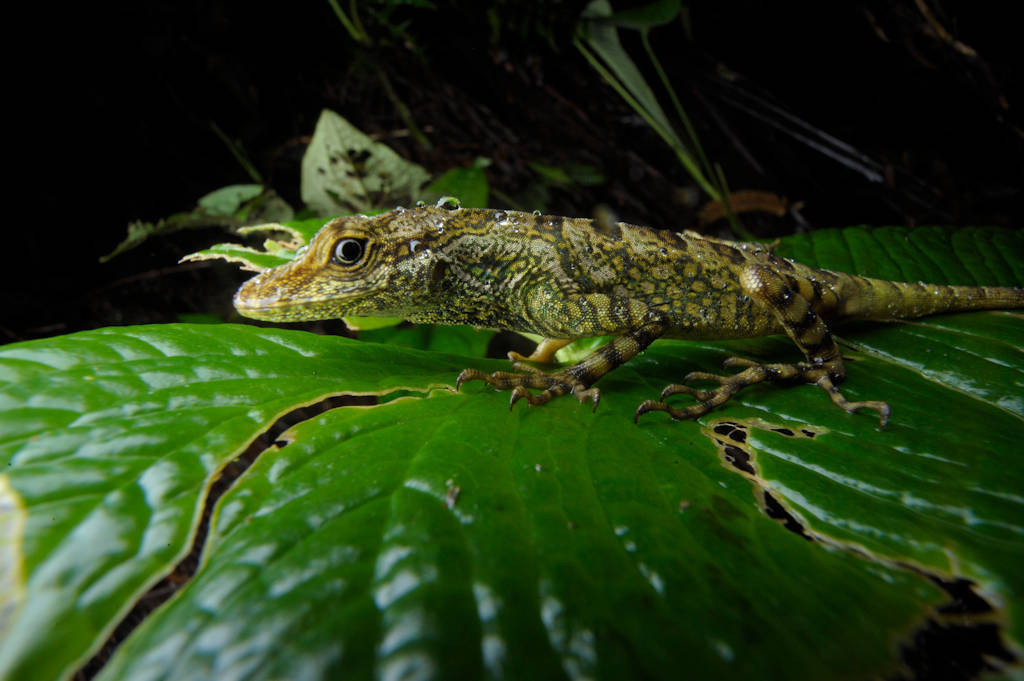 Photo: An anole (Polychrotidae sp.) in the cloud forest reserve of Reserva Las Gralarias, near Mindo, Ecuador.