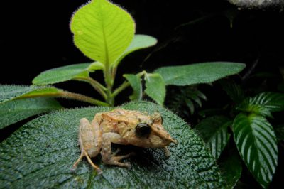 A long-snouted robber frog (Pristimantis appendiculatus) in the cloud forest reserve near Mindo, Ecuador.