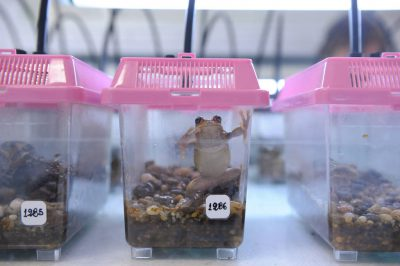 "An endangered Azuay marsupial frog (Gastrotheca litonedis) is propagated in captivity by Balsa de los Sapos, the ""amphibian ark"" at Pontificia Universidad Cat—lica del Ecuador in Quito."