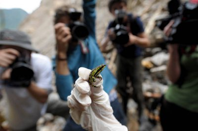 After being examined for chytrid fungus, a male harlequin frog (Atelopus sp.) is shown to members of the press at a research site near Limon, Ecuador.