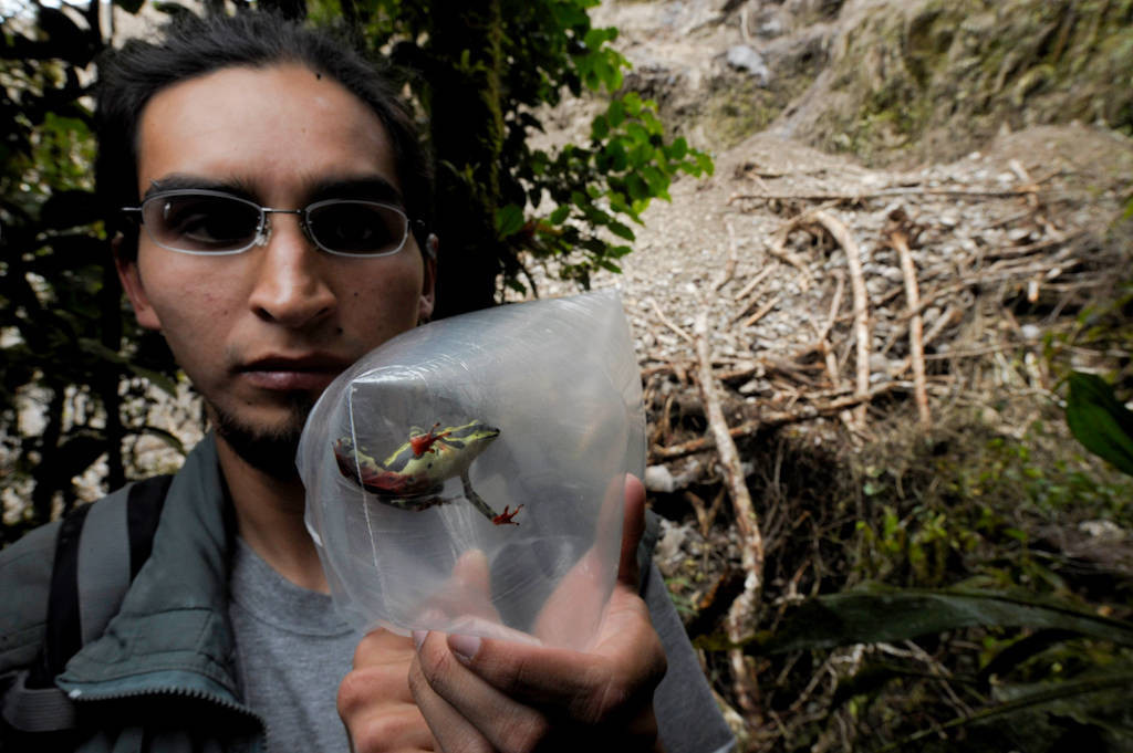 A researcher holds a male harlequin frog (Atelopus sp.) collected for captive breeding near Limon, Ecuador.