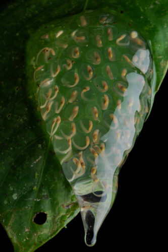 Photo: An egg mass with developing tadpoles of a glass frog species, possibly Cochranella flavopuctata, near Limon, Ecuador.