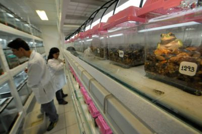 Photo: Scientists examine and feed frogs at the captive breeding facility known as Balsa de los Sapos, or Amphibian Ark, at Quito's Catholic University, Ecuador.