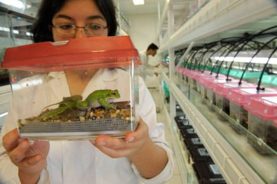 A scientist holds an endangered San Lucas marsupial frog (Gastrotheca pseustes) at the captive breeding facility known as Balsa de los Sapos, or Amphibian Ark, at Quito's Catholic University, Ecuador.