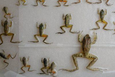 Photo: Amphibian specimens at the captive breeding facility known as Balsa de los Sapos, or Amphibian Ark, at Quito's Catholic University, Ecuador.