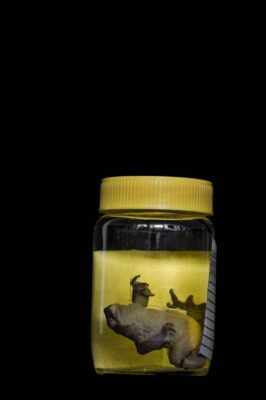 Photo: An extinct frog species specimen at the captive breeding facility known as Balsa de los Sapos, or Amphibian Ark, at Quito's Catholic University, Ecuador.
