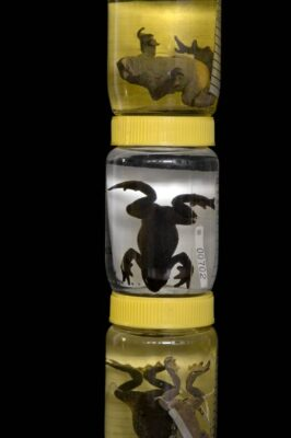 Photo: Jars of extinct amphibian species from the captive breeding facility known as Balsa de los Sapos, or Amphibian Ark, at Quito's Catholic University, Ecuador.