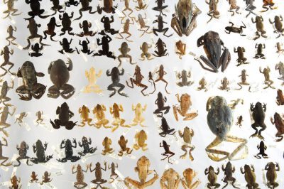 Photo: Extinct species of amphibians on display at Catholic University, Ecuador.