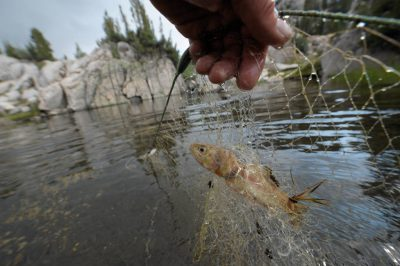 Photo: A biologist working for the National Parks Service holds an introduced (non-native) trout at the Sixty Lake Basin of King's Canyon National Park, Nevada.