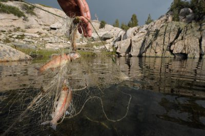Photo: A biologist working for the National Parks Service pulls up a catch of introduced (non-native) trout at the Sixty Lake Basin of King's Canyon National Park, Nevada.