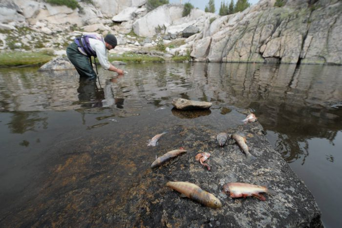 Photo: A biologist working for the National Parks Service collects introduced (non-native) trout at the Sixty Lake Basin of King's Canyon National Park, Nevada.