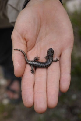 A scientist holds a Mount Lyell salamander (Hydromantes platycephalus) in the Sixty Lake Basin of King's Canyon National Park, Nevada.