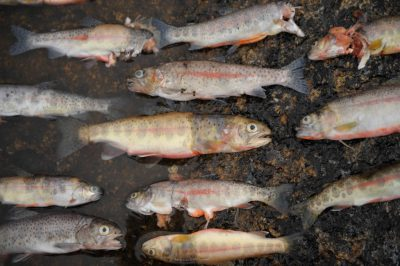Photo: Recently killed introduced (non-native) trout in the Sixty Lake Basin of King's Canyon National Park, Nevada.