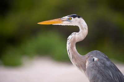 Picture of a great blue heron (Ardea herodias), in Galapagos National Park.