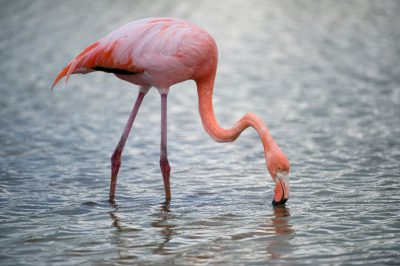 Picture of an American flamingo (Phoenicopterus ruber), in Galapagos National Park.