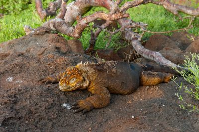 Photo: A Galapagos Land Iguana (Conolophus subcristatus) on North Seymour Island, part of Galapagos National Park.