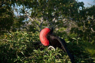 Picture of a male magnificient frigatebird, Fregata magnificens, on North Seymour Island in Galapagos National Park.
