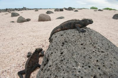 Photo: Marine iguanas (Amblyrhynchus cristatus) warm themselves on lava rocks on North Seymour Island in Galapagos National Park.