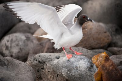 Photo: A swallow-tailed gull (Creagrus furcatus) on North Seymour Island in Galapagos National Park.