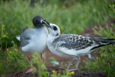 Photo: Swallow-tail gull (Creagrus furcatus) with hungry chick, on North Seymour Island, part of the Galapagos Chain.