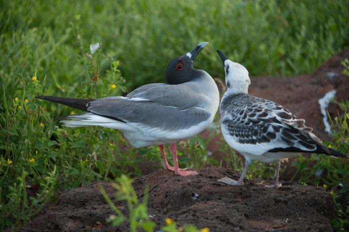Photo: Swallow-tail gull (Creagrus furcatus) with chick, on North Seymour Island, part of the Galapagos Chain.