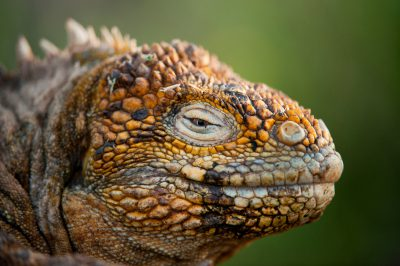 Photo: Close up of a Galapagos Land Iguana (Conolophus subcristatus) on North Seymour Island, part of Galapagos National Park.