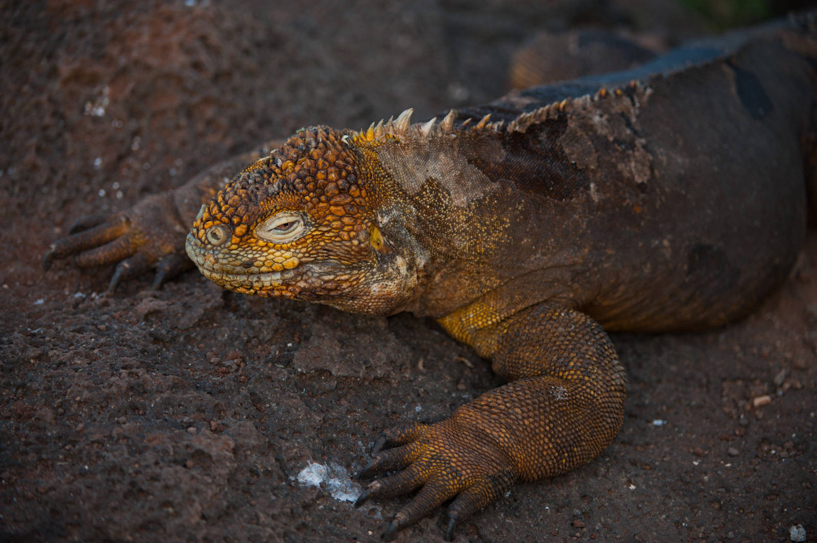 Photo: Galapagos land Iguana (Conolophus subcristatus) on North Seymour Island, part of Galapagos National Park.