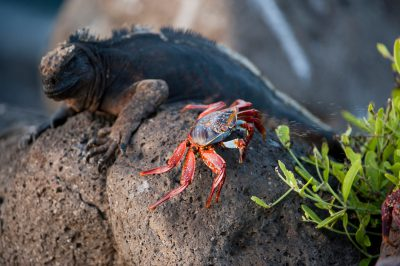 Photo: A marine iguana (Amblyrhynchus cristatus) next to a sally lightfoot crab (Grapsus grapsus) on North Seymour Island, part of the Galapagos Chain.