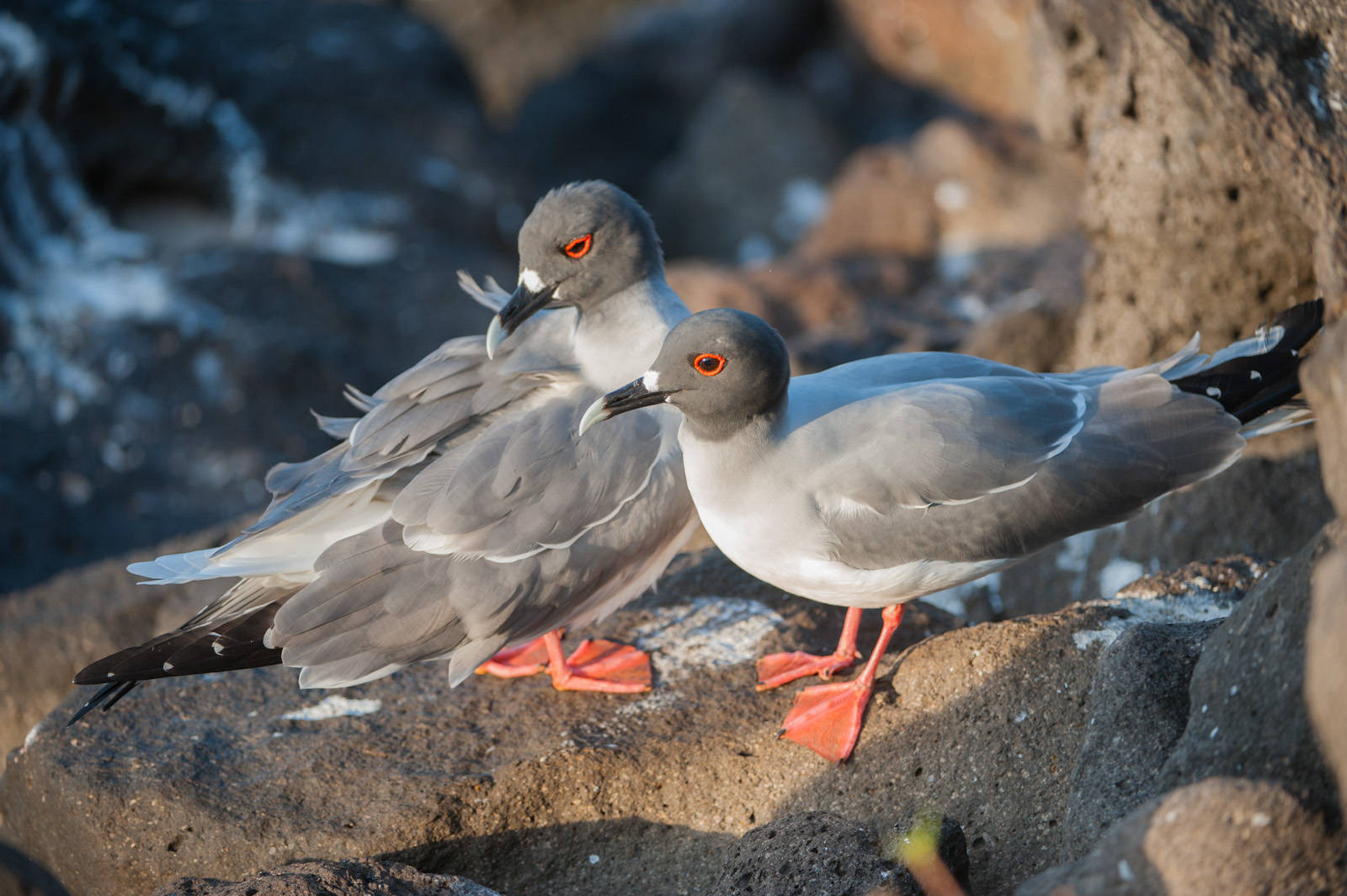Photo: Swallow-tailed gulls (Creagrus furcatus) on North Seymour Island, part of the Galapagos Chain.
