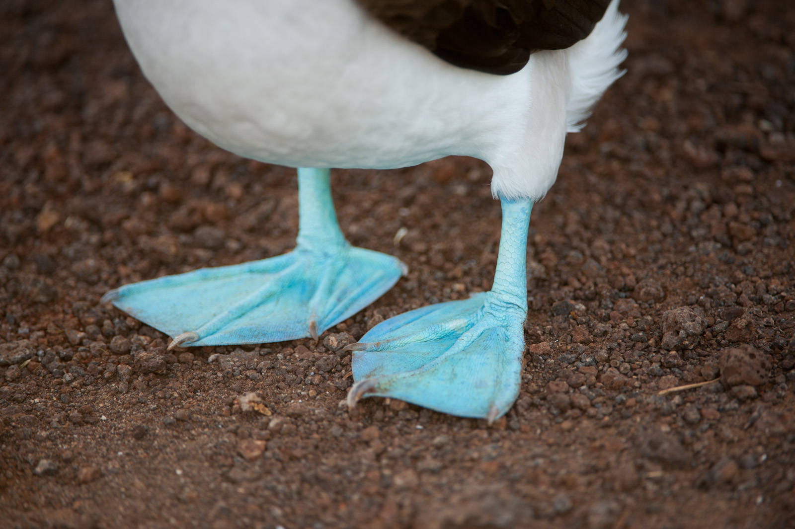 Photo: The webbed feet of the Blue-footed booby bird (Sula nebouxii) on North Seymour Island, part of the Galapagos Chain.